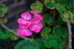 Fermez-vous d'un géranium rose Image libre de droits