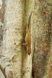 Fermez-vous d'un gecko en bronze d'oeil images stock