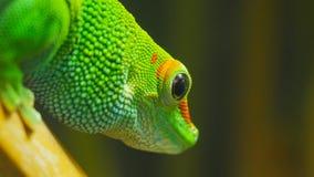 Fermez-vous d'un gecko géant de jour du Madagascar photos stock