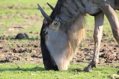 Fermez-vous d'un gnou d'antilope Image libre de droits