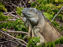 Fermez-vous d'un grand iguane vert montant un buisson Image libre de droits