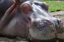 Fermez-vous d'un hippopotame de sommeil Photo libre de droits
