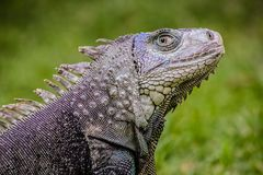 Fermez-vous d'un iguane, le reptile inoffensif, centre sélectif d'une Liz photo stock