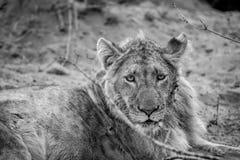 Fermez-vous d'un jeune lion masculin photographie stock