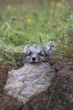 Fermez-vous d'un jeune petit animal espiègle de renard arctique en été image stock