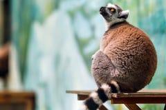 Fermez-vous d'un lémur mignon Photo libre de droits
