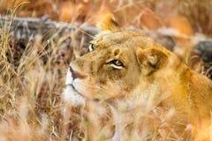 Fermez-vous d'un lion africain femelle se cachant dans la longue herbe dans un Sout photo libre de droits