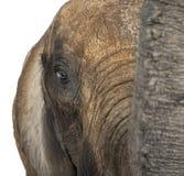 Fermez-vous d'un éléphant africain Photo libre de droits