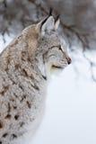 Fermez-vous d'un lynx pendant l'hiver Images stock