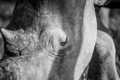 Fermez-vous d'un oeil blanc de rhinocéros photo libre de droits