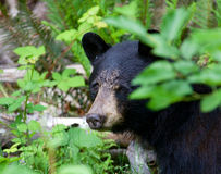 Fermez-vous d'un ours noir se cachant dans la forêt dans le Canada de Colombie-Britannique Image stock