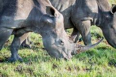 Fermez-vous d'un pâturage blanc de rhinocéros photographie stock libre de droits