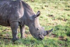 Fermez-vous d'un pâturage blanc de rhinocéros photos libres de droits
