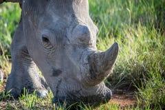 Fermez-vous d'un pâturage blanc de rhinocéros photographie stock