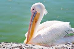 Fermez-vous d'un pélican blanc dans le lac Image libre de droits