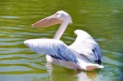 Fermez-vous d'un pélican blanc dans le lac Photographie stock libre de droits