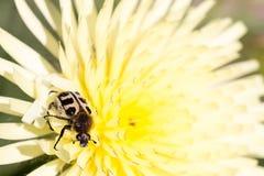Fermez-vous d'un Pachyta, un genre des scarabées, sur une fleur jaune Photos stock