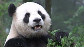 Fermez-vous d'un panda mangeant le bambou à Chengdu Chine clips vidéos