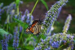 Fermez-vous d'un papillon de monarque avec une aile cassée sur une fleur bleue de Veronica photographie stock libre de droits