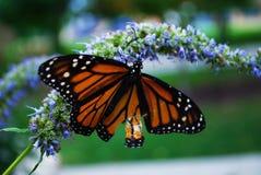 Fermez-vous d'un papillon de monarque avec une aile cassée sur une fleur bleue de Veronica photo libre de droits