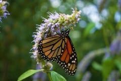 Fermez-vous d'un papillon de monarque avec une aile cassée sur une fleur bleue de Veronica image libre de droits