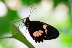 Fermez-vous d'un papillon sur une feuille photos stock