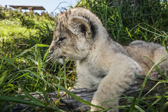 Fermez-vous d'un petit animal de lion. Photos stock
