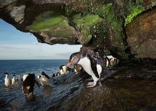 Fermez-vous d'un pingouin du sud de rockhopper prenant la douche photos libres de droits