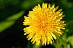 Fermez-vous d'un pissenlit jaune et orange Photo libre de droits
