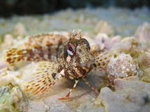 Fermez-vous d'un poisson de blenny de Tompot Photographie stock libre de droits