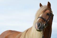 Fermez-vous d'un poney de châtaigne juste autour du secteur d'oeil photographie stock libre de droits