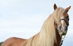 Fermez-vous d'un poney de châtaigne juste autour du secteur d'oeil photos stock