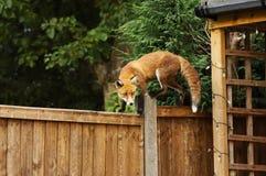 Fermez-vous d'un renard rouge marchant sur la barrière dans le jardin arrière Image stock