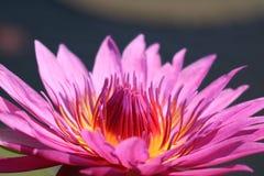 Fermez-vous d'un rose pourpre vibrant Lotus Flower de pleine floraison à la lumière du soleil photo libre de droits