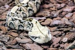 Fermez-vous d'un serpent à cornes de nez Photos libres de droits