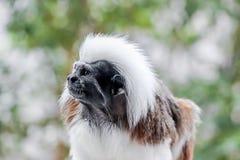 Fermez-vous d'un singe au dessus du coton de Tamarin Images stock