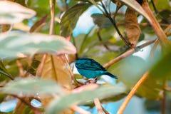 Fermez-vous d'un tanager d'hirondelle de turquoise se cachant dans les branches d'un arbre tropical images stock