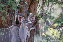Fermez-vous d'un taureau de Kudu en Kruger image libre de droits