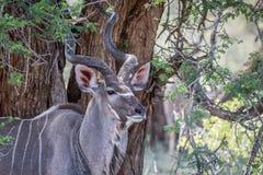 Fermez-vous d'un taureau de Kudu en Kruger photo stock
