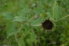Fermez-vous d'un tournesol défraîchi entouré par les feuilles vertes images stock