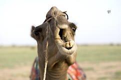 Fermez-vous d'un visage de chameau chez Sam Sand Dunes, Jaisalmer, Ràjasthàn, Inde Photos stock