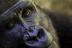 Fermez-vous d'un visage de gorille Image libre de droits