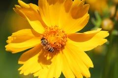 Fermez-vous d'une abeille sur la fleur Images libres de droits