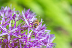 Fermez-vous d'une abeille sur une fleur pourpre d'ampoule d'allium Images stock