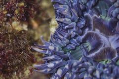 Fermez-vous d'une anémone bleue Photos stock