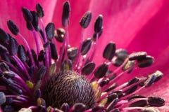Fermez-vous d'une anémone en pleine floraison images stock