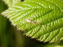 Fermez-vous d'une araignée translucide avec de longues jambes et beaucoup de l noir images stock