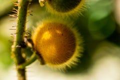 Fermez-vous d'une baie jaune velue de Ferox de solanum, aubergine images libres de droits