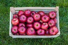 Fermez-vous d'une caisse avec les pommes fraîches sur l'herbe : Pommes de gala photo libre de droits