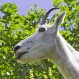 Fermez-vous d'une chèvre de montagne Photo stock